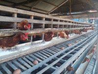 Pakan Naik, Harga Telur Tingkat Produksi Capai Rp. 43.000